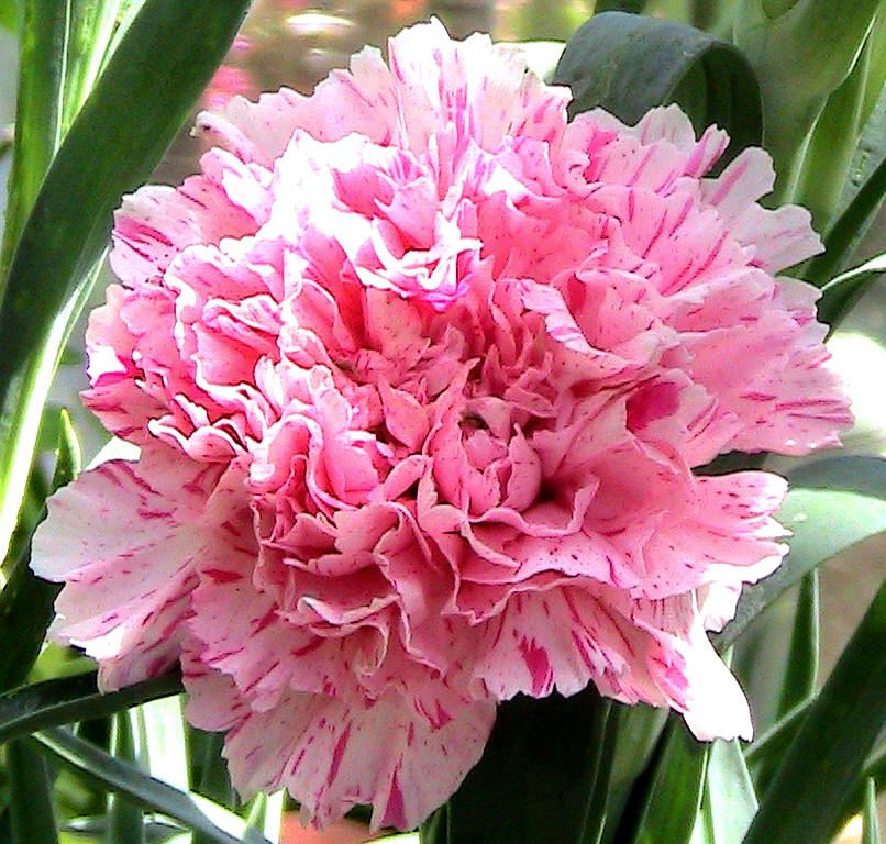 Nice Pale Pink With Darker Stripes Lovely Clean Scent Superior And Stunning Fragrant Raised Bred At Newport Mills Nursery By John Barrington