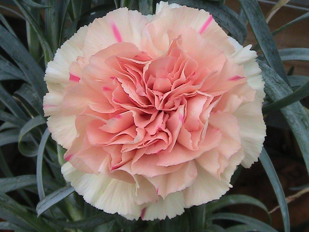 Carnations - Newport Mills Nursery.