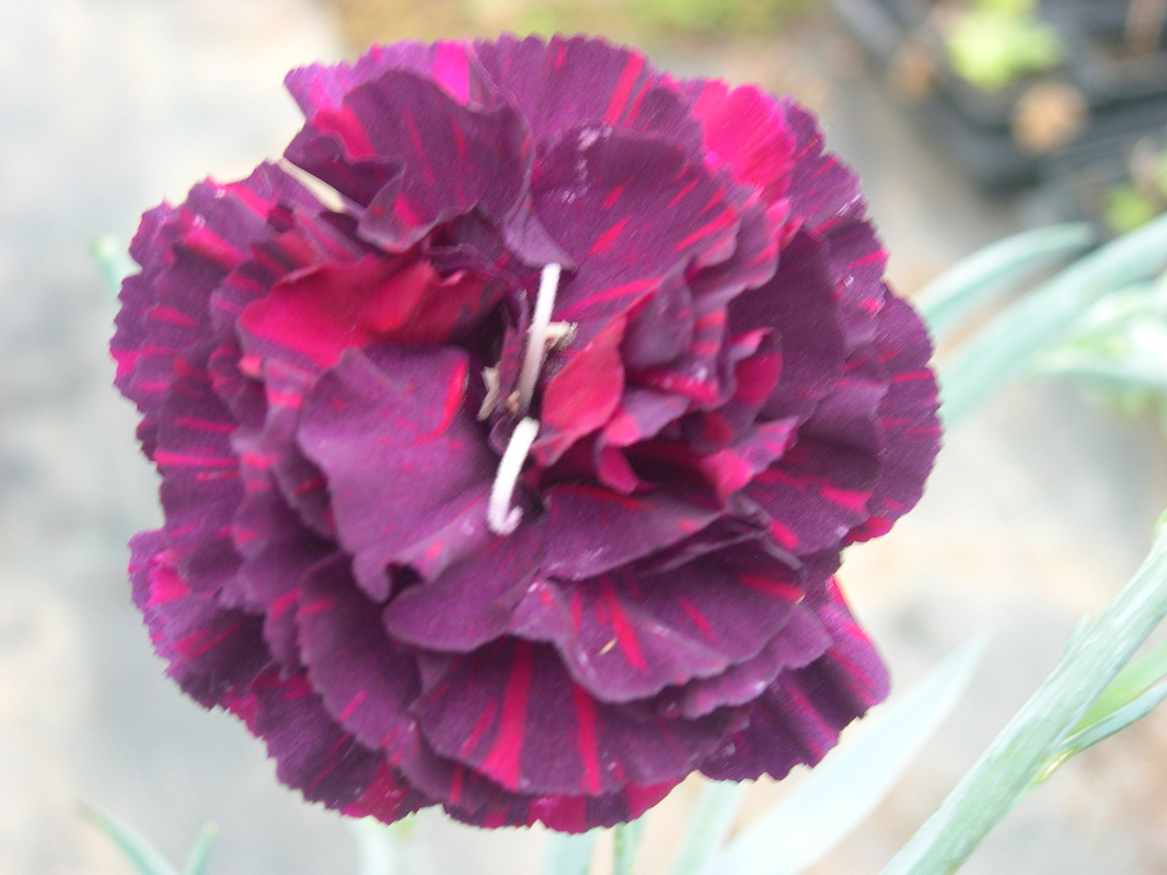 Carnations newport mills nursery purplegrey base colour with neon pink flashes rich scented flower a great new flower to rival all other purplegreys fragrant mightylinksfo Image collections