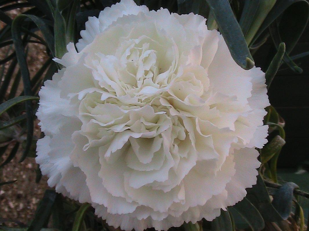 Carnations Newport Mills Nursery
